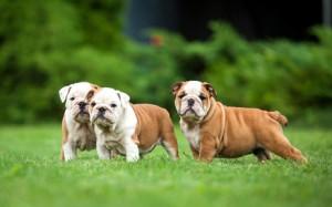 Hundehaftpflicht Englische Bulldogge