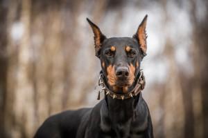Hundehaftpflicht Dobermann