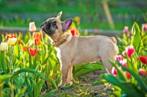 Hundehaftpflicht Französische Bulldogge