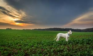 Hundehaftpflicht Dogo Argentino