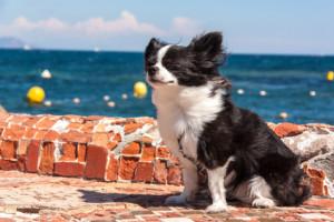 Hundehaftpflichtversicherung Chihuahua